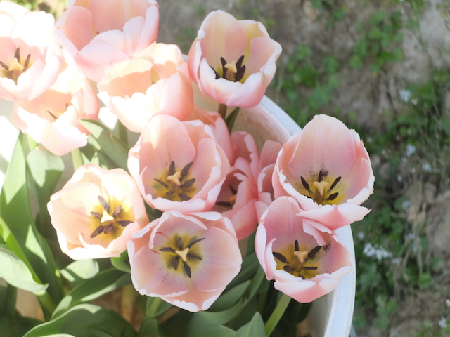tulipes-contre-cancer